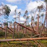 Wg szacunków w leśnictwie Dywan stoi tylko 20% drzewostanu...
